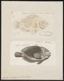 Amphiprion ephippium - 1700-1880 - Print - Iconographia Zoologica - Special Collections University of Amsterdam - UBA01 IZ13900256.tif