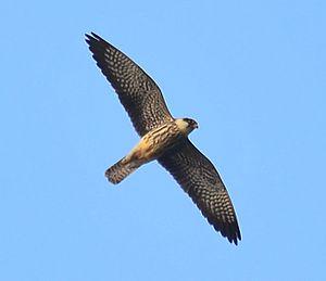 Amur falcon - Female in flight