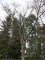 Amuuri korgipuu 2.jpg