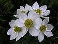 Anémona de flores de narciso - Anemone narcissiflora (9657305084).jpg