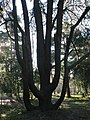 An interestingly shaped tree - geograph.org.uk - 631248.jpg