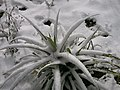 Ananas encoberto de neve.jpg