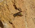 Ancistrocerus sp. - Flickr - gailhampshire (5).jpg
