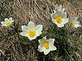 Anemone (Pulsatilla) alpina (34919350470).jpg