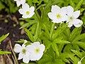 Anemone canadensis-IMG 0630.jpg