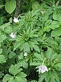 Anemone leveilei - Flickr - peganum (1).jpg