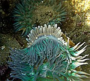 Sea anemones engaged in clone war