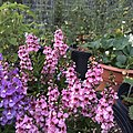 Angelonia angustifolia public domain IMG 5099.jpg