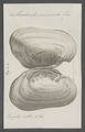 Anodonta sinuosa - - Print - Iconographia Zoologica - Special Collections University of Amsterdam - UBAINV0274 076 10 0013.tif