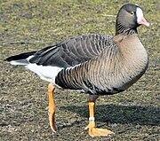 Ente unbekannt 1.jpg