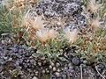 Antennaria dimorpha (3998243756).jpg