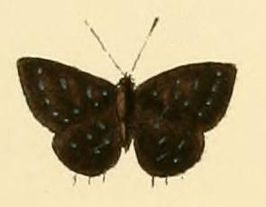 Anthene lucretilis1.JPG
