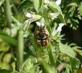 Anthidium manicatum, male (1) - Flickr - gailhampshire.jpg
