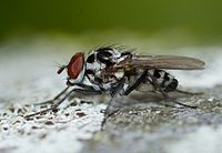 Anthomyia May 2013-2.jpg