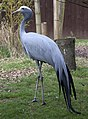 Anthropoides paradiseus -Birmingham Nature Centre, Cannon Hill Park, England-8a.jpg