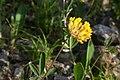 Anthyllis vulneraria - img 25560.jpg