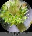 Aphanes arvensis sl30.jpg