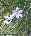 Aphyllanthe.jpg