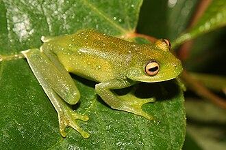 Canebrake tree frogs - Aplastodiscus callipygius