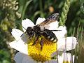 Apoidea con alas tintadas - Andrena albopunctata (8977545201).jpg