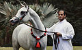Arabian horse11.jpg