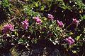 Arabis blepharophylla 4.jpg