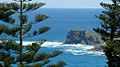 Araucaria heterophylla Endeavour Lodge Norfolk Island 3.jpg