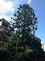Araucaria in Hakozaki Campus, Kyushu University.jpg