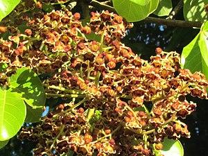 Sterculia apetala - Image: Arbol Panama (Sterculia apetala) en flor