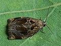 Archips crataegana ♂ - Brown oak tortrix (male) - Листовёртка-толстушка боярышниковая (самец) (42086382995).jpg