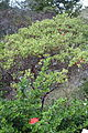 Arctostaphylos ohloneana - Regional Parks Botanic Garden, Berkeley, CA - DSC04559.JPG