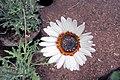 Arctotis fastuosa - Cape-daisy IMG 5568.jpg