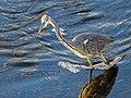 Ardea cinerea Graureiher grey heron 04.jpg