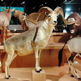 Argali - Stuffed specimen at the National Museum of Nature and Science, Tokyo