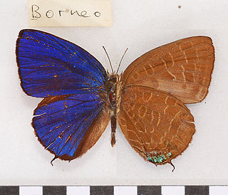 <i>Arhopala ace</i> species of insect