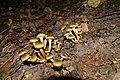 Armillaria mellea-DSC 0268.jpg