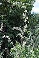 Artemisia vulgaris - Oslo, Norway 2020-08-03 (01).jpg