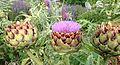 Artischocken in Blüte in einem Garten.jpg