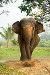 Asian Elephant in Thailand.jpg