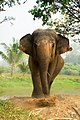 Asian Elephant in Thailand.jpg
