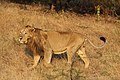 Asiatic lion 02.jpg