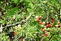 Asparagus Fern (Asparagus densiflorus) with fruits ... (45504352655).jpg