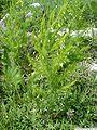 Asparagus tenuifolius1Georgi Kunev.jpg
