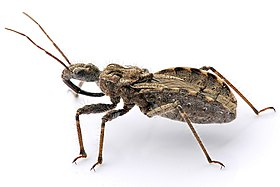 An adult assassin bug