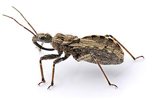 An assassin bug