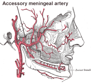 Accessory meningeal artery - Plan of branches of maxillary artery