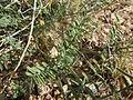 Astragalus gracilis (7273545470).jpg