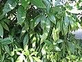 Aucuba japonica.jpg