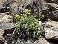 Aurinia saxatilis sl2.jpg