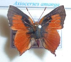 Axiocerses amanga, J Dobson, a.jpg